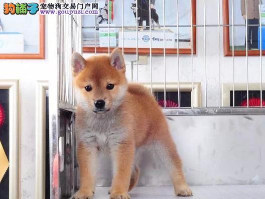 专业养殖纯种高品质日本柴犬待售 公母均有可上门挑选