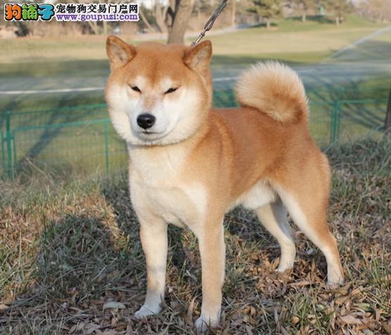 国际注册犬舍 出售极品赛级柴犬幼犬诚信信誉为本