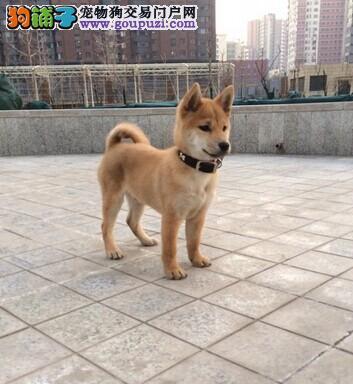 专业繁殖日本柴犬 赛级血统 纯种健康 已做全疫苗