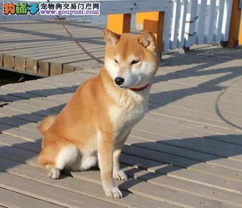 国际注册犬舍 出售极品赛级柴犬幼犬同城免费送货上门