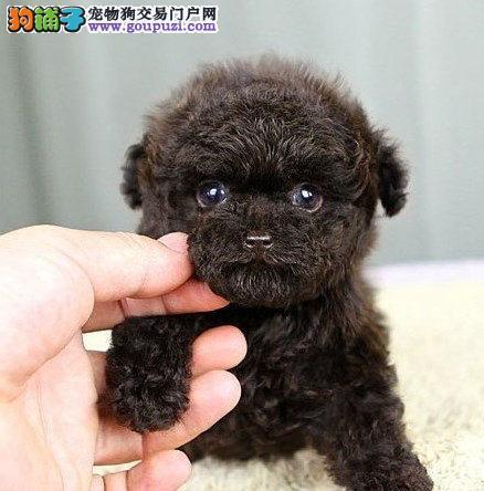 家养极品茶杯犬出售 可见父母颜色齐全包养活送用品