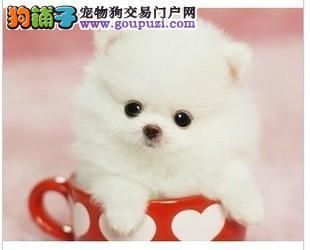 出售正宗茶杯犬 世界最小 最萌名犬 质保3年健康