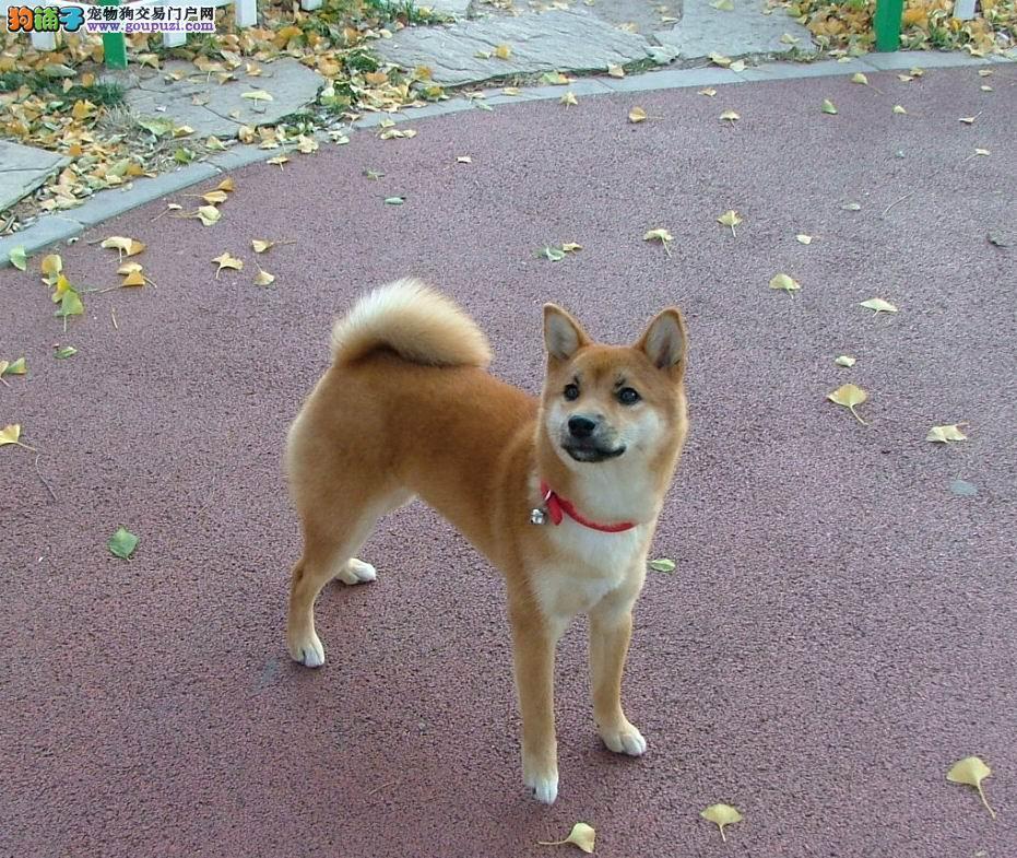 赛级日系柴犬 有健康证明 血统证明