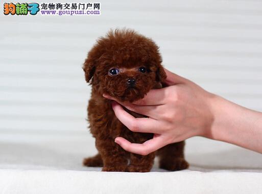 销量第一 袖珍狗 茶杯口袋犬 纯白色 大眼睛宠物狗