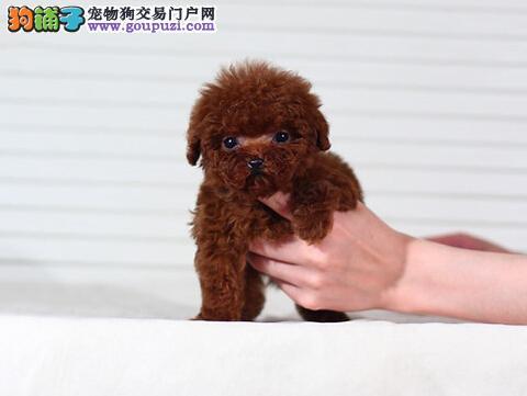精品小体茶杯犬CKU认证血统质量三包完美售后