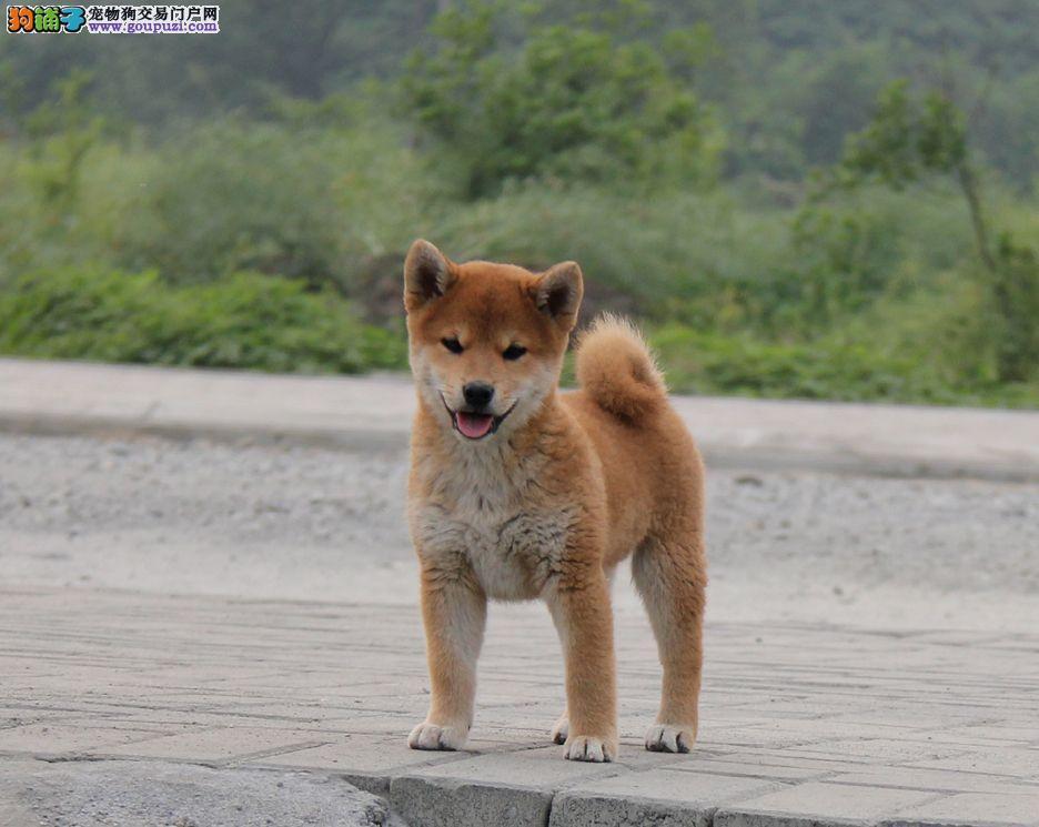 国际注册犬舍 出售极品赛级柴犬幼犬可签合同刷卡