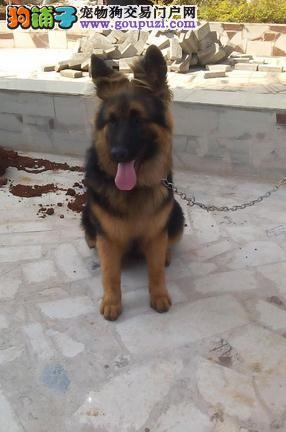 长沙哪里出售狼狗 纯种狼狗多少钱一只