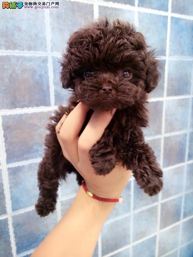 深圳纯种茶杯犬价格多少 深圳哪里有卖茶杯犬