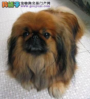 深圳哪里有京巴犬出售 深圳京巴多少钱一只