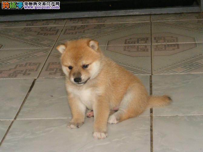 高品质柴犬幼犬、公母均有颜色齐全、可送货上门