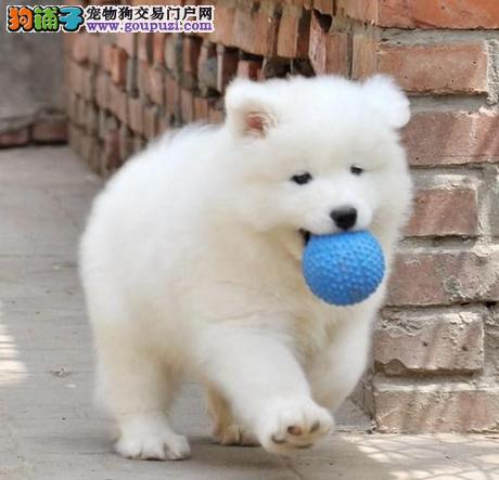 上海实体店出售萨摩耶 微笑天使萨摩狗狗 疫苗已做