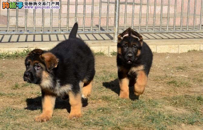 黑神血系/锤系德国牧羊犬专卖/质保三年/签合同