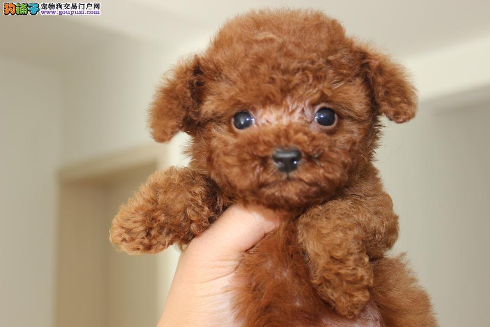 CKU、FCI认证犬舍 出售真正的微小茶杯泰迪熊幼犬