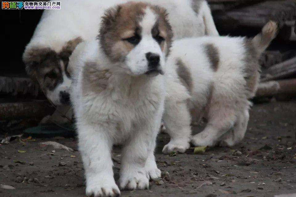 长沙正规狗场犬舍直销中亚牧羊犬幼犬全国空运发货