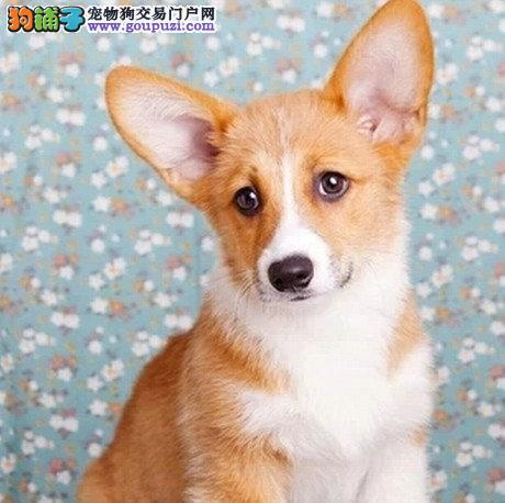 杭州什么地方有柯基犬 杭州柯基犬多少钱一只
