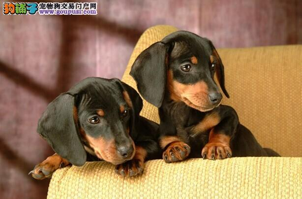 哪里有卖腊肠犬 纯种腊肠犬多少钱 武汉卖宠物狗的地方