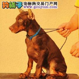 双血统有血统证书认证杜宾幼犬