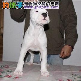 纯种双血统精品杜高犬品质有保证