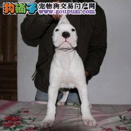 打猎好帮手 阿根廷杜高犬幼犬陕西哪有卖的 血统纯正