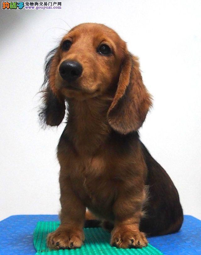 家养多只福州腊肠犬宝宝出售中同城免费送货上门