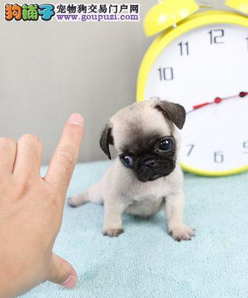 北京出售 -出售超可爱小体 巴哥 幼犬 保证健康