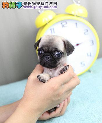 赛级品相西安巴哥犬幼犬低价出售终身售后保障