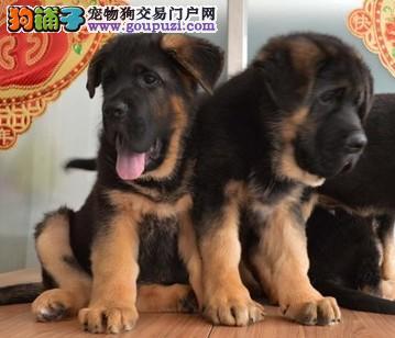 专业赛级狼狗销售高品质幼崽,可签证