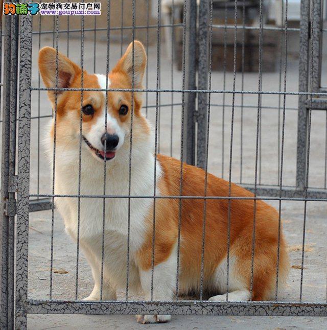 出售柯基幼犬,低价热销保健康,提供养护指导