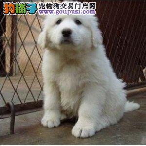 纯种犬繁殖基地出售大白熊幼犬可签订质保协议