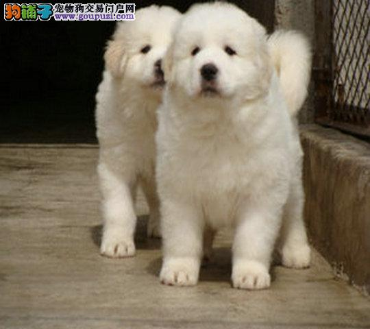 出售大白熊幼犬 血统纯正包品质 提供养狗指导