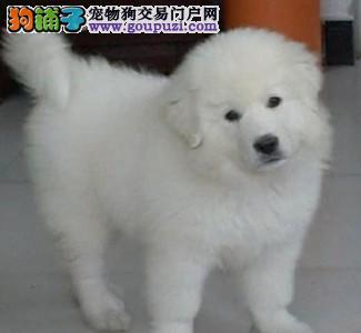 出售多只优秀的大白熊可上门签订协议包细小犬瘟热