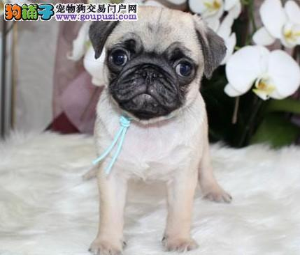 巴哥犬幼犬热销中,精心繁育品质优良,喜欢加微信