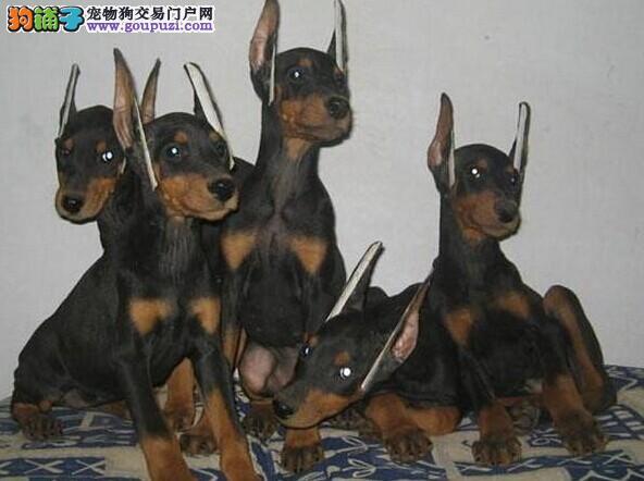 买纯种德系美系杜宾/立耳断尾/价格优惠/赠狗狗户口