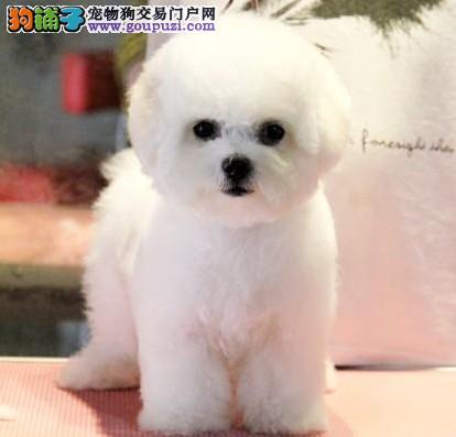 买赛级 法国黑鼻头纽扣眼卷毛比熊幼犬 纯种健康