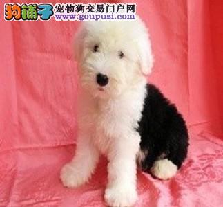 多乐士漆广告明星狗 精品白头齐肩通背纯种古代牧羊犬