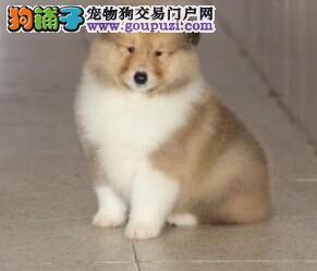 北京专业繁殖基地售精品苏格兰牧羊犬三针齐质保三年