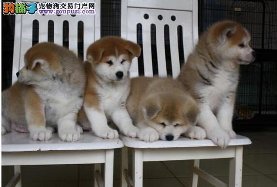 日本秋田犬幼犬出售 北京正规犬舍出售秋田犬幼犬日系