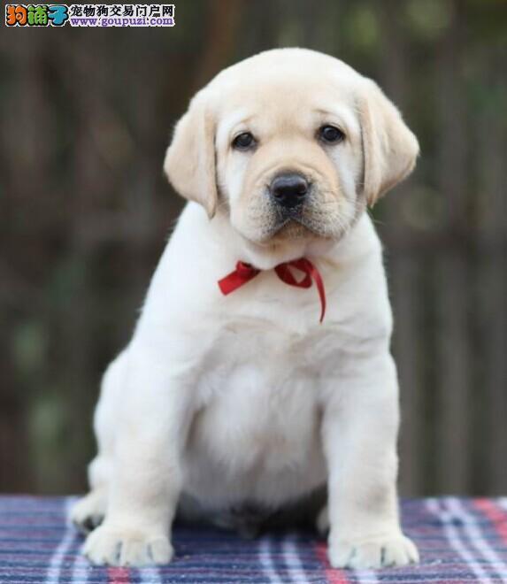 顶级拉布拉多导盲犬 血统纯正 健康质保可签订协议
