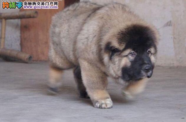 正规狗场繁殖 买的放心,精品高加索犬带回家签协议