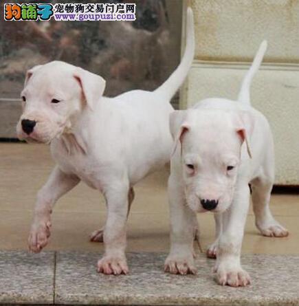 CKU认证犬舍 专业出售极品 杜高犬幼犬微信咨询视频看狗