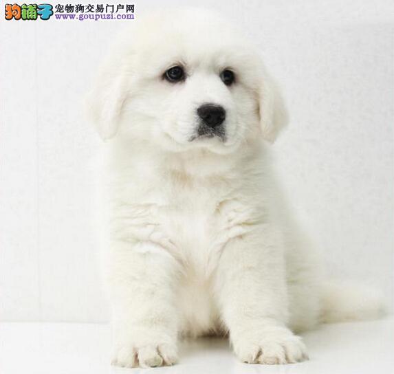 CKU犬业专业基地繁殖双冠血统纯种大白熊 签协议