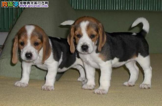 纯种高品质比格犬出售 漂亮可爱 公母多只欢迎选购