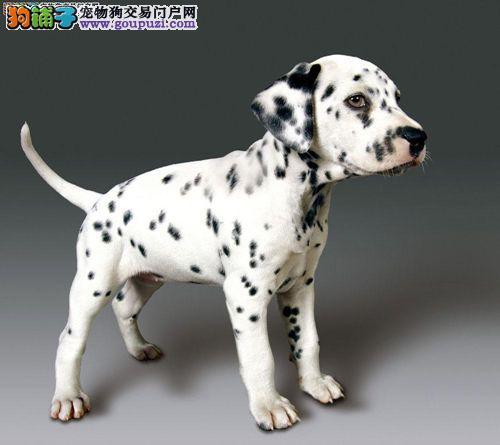 出售多只优秀的斑点狗可上门保障品质售后