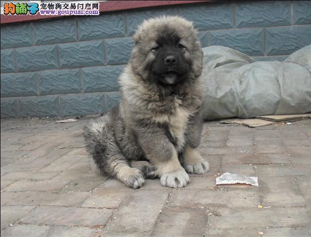 北京纯种犬繁殖基地出售优质高加索幼犬 签订正规合同