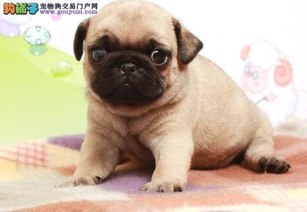 巴哥犬找新家 公母均有颜色齐全 微信咨询看狗