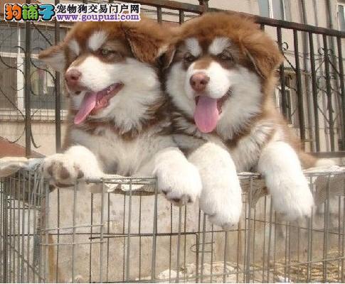 买纯种巨型阿拉斯加雪橇犬 特价酬宾 赠狗狗户口