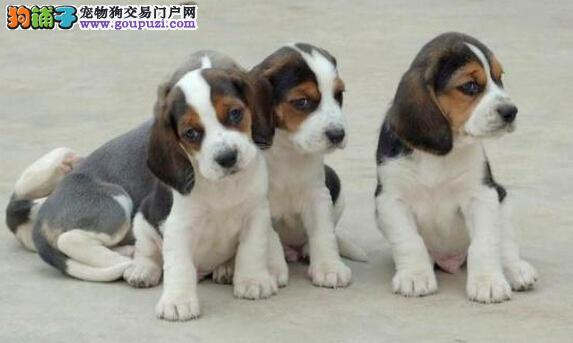 可爱乖巧的比格宝宝出售 权威犬舍认证签协议保健康