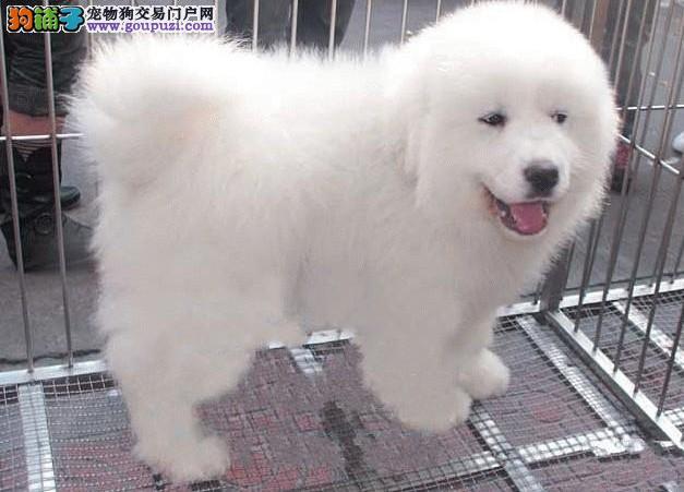 CKU认证纯种大白熊幼犬出售有多只种公可配种保健康