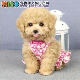 优秀可爱韩系泰迪犬低价出售 重庆地区有实体店保品质
