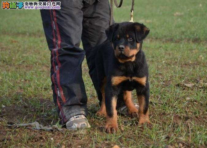 纯种罗威纳犬 德系罗威纳 2到3个月幼犬 健康保证